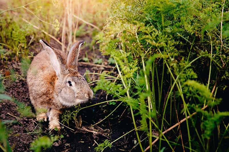 A close up of a rabbit to the left of the frame, investigating a vegetable garden. To the right of the frame is green carrot foliage, which the rabbit is sniffing. The background is soil and vegetation in soft focus, in light sunshine.