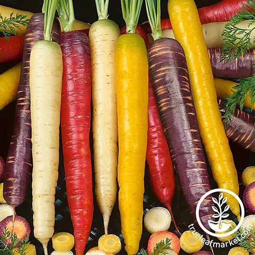 A selection of different colored carrots in a row. Around them are various others cut into rounds, with some foliage.