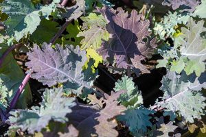 How to Grow Sweet and Tender Red Russian Kale