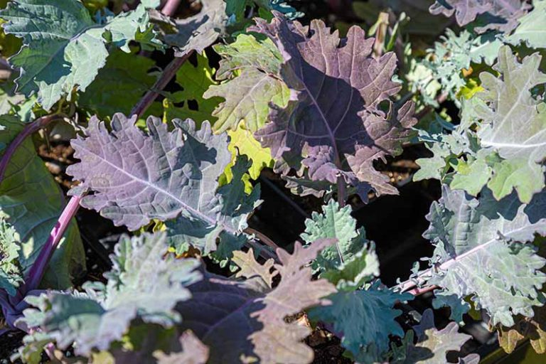 Close up picture of Brassica oleracea leaves growing on the plant. Ranging from light green to pale purple, the flat leaves with jagged edges are pictured in bright sunshine.