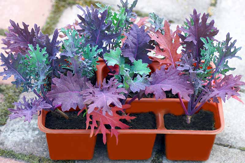 A close up of a red seedling tray containing nine plants of the 'Red Russian' variety. Some of the leaves are a deep purple, others mid to dark green. The background is a light stone surface with a little moss, in soft focus.