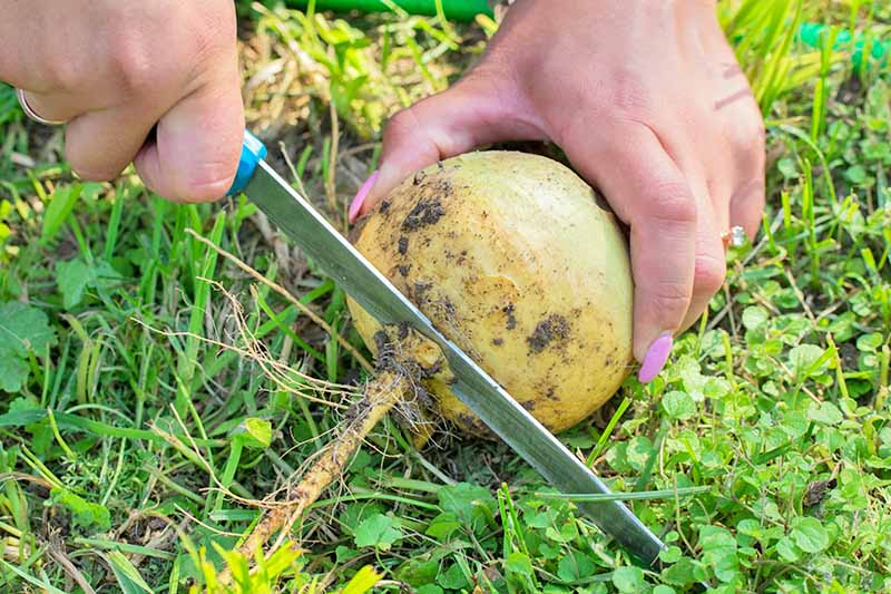 A woman grips a freshly harvested turnip in one hand and with the other hand, uses a knife to cut off the root. The background is green grass in bright sunshine.