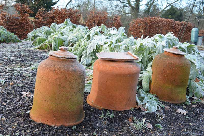 Three terra cotta pots in a row in front frost covered plants, surrounded by soil with a light dusting. In the background is a hedge with brown leaves on a winter day.