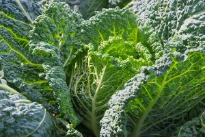 How to Grow Savoy Cabbage