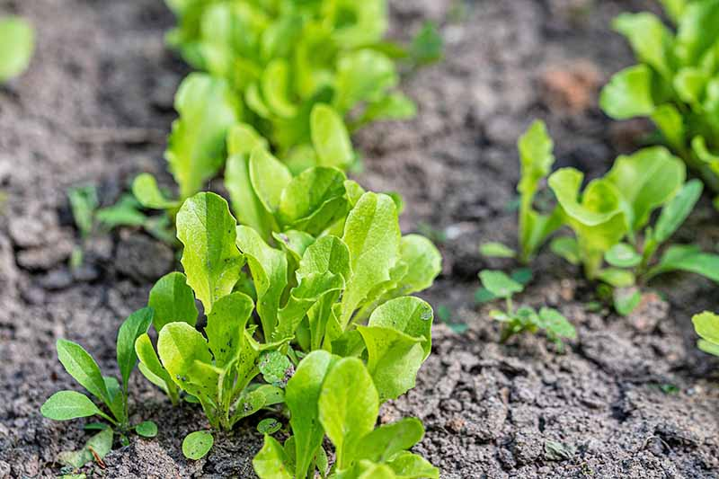 A close up of young seedlings, the bright green leaves contrasting with the soft focus dark soil behind.