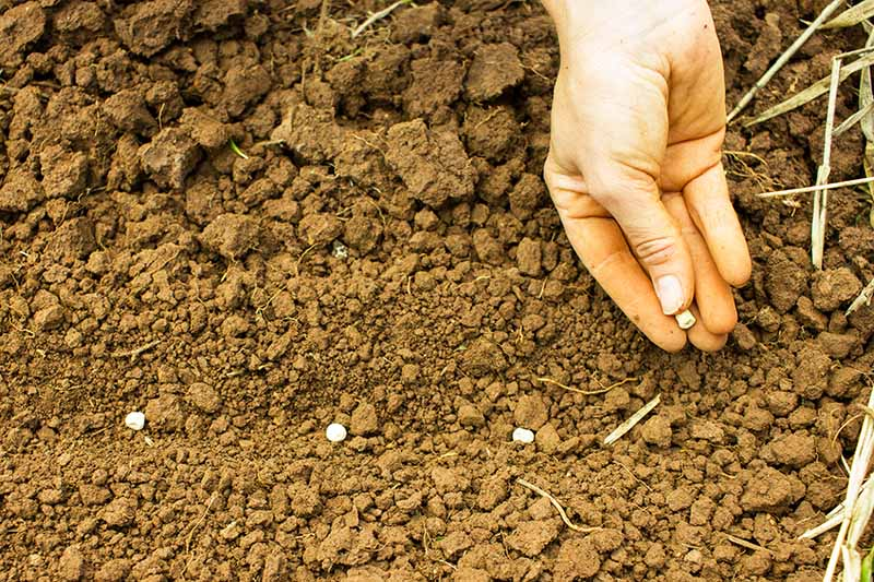 A close up of a hand on the right of the frame, planting seeds into coarse brown soil. The hand is holding one seed, and three have already been sown. The background is brown soil.