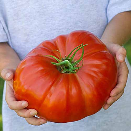 Two hands holding an enormous red 'SteakHouse' tomato, the vibrant color contrasting with the green stem, and the gray background of the person's shirt.