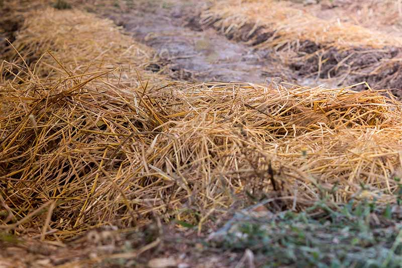 A close up of rows in a vegetable garden, covered with a layer of straw mulch for winter. In between the rows is bare, frosty soil.