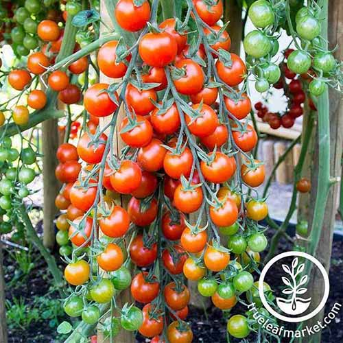 A large tomato plant full of 'Supersweet 100' fruits, in varying stages of ripeness. Some are a deep red color, others lighter and in shades of green and yellow. The background is soft focus vegetation and soil.