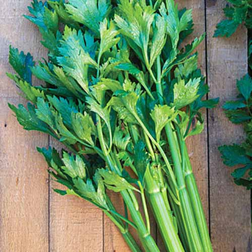 Close up of a bunch of 'Tango Hybrid' celery stalks with bright green leaves in soft light on a wooden background.
