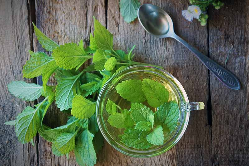 A wooden surface with a glass cup pictured from above, containing lemon balm leaves steeped in water. To the left of the cup are freshly picked green leaves, and to the right, a metal spoon and tiny white flowers.