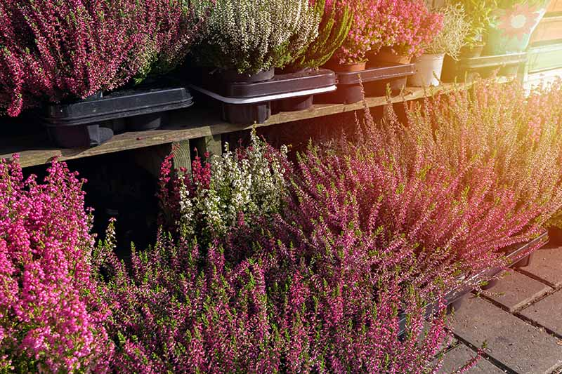 A close up of wispy heather plants with pink, purple, and white small flowers. Each plant is in a pot in a plastic seedling tray. From the right of the frame is bright autumn sunshine.