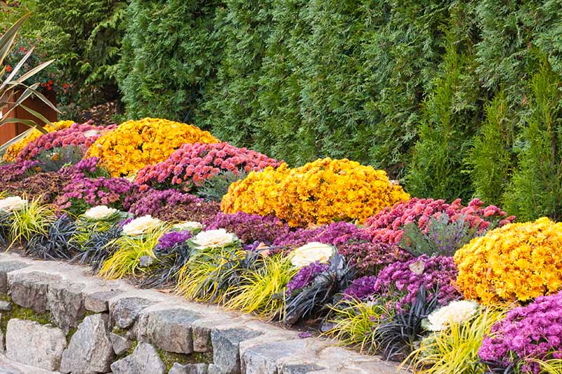 A bright green conifer hedge with neat plantings of yellow, pink, and purple flowers, interspersed with ornamental grass and decorative cabbage. In the foreground is a low stone wall.