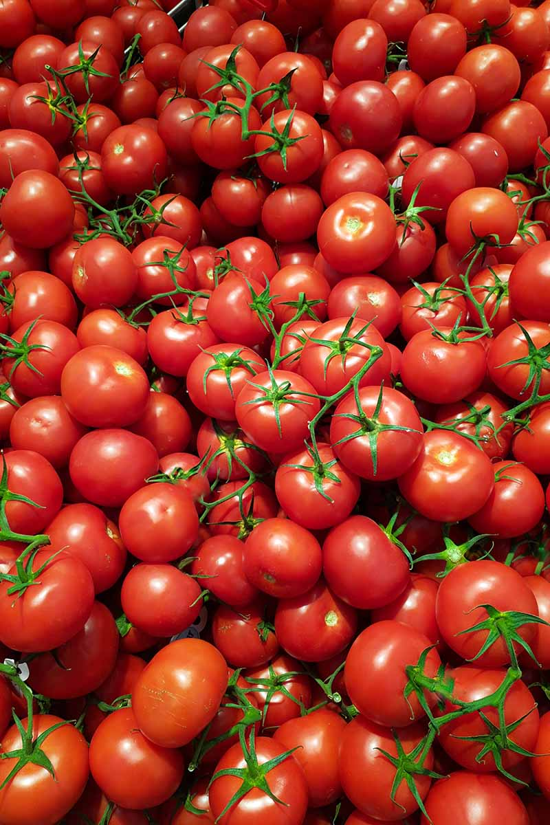 A close up of a bountiful harvest of small red ripe cherry tomatoes. Some still have the vine attached, the green contrasting with the vibrant red.