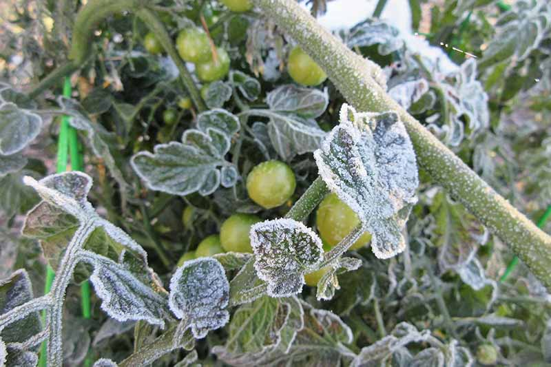 A close up of a tomato plant covered in frost. The fruits are unripe and green. The background is leaves and stems with white frost.