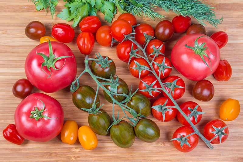 A selection of different heirloom tomatoes shown on a wooden background. A variety of large and small red fruits, as well as yellow and dark green cultivars. Some of the smaller fruits are still attached to the vine, and to the top of the frame are some herbs, just visible.