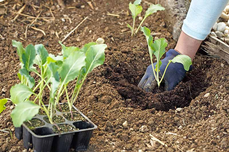 A hand on the right of the frame, wearing a blue gardening glove, is planting a seedling outdoors in soil. To the left of the frame is a black seed tray with seven more seedlings ready for planting.