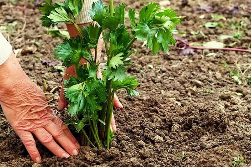 A hand from the left of the frame pats down soil around a newly transplanted celery plant. The background is brown soil in soft focus.