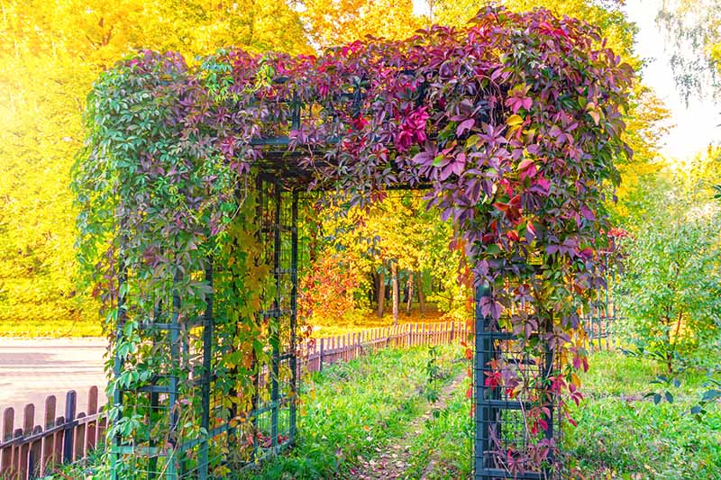 A trellis covered in a creeper with red, orange, purple, and green autumn colors, in the background are trees with bright yellow leaves, and green grass. In bright sunshine.