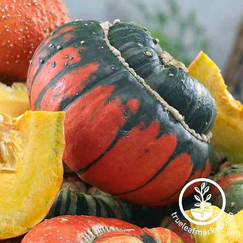 A close up of a red and green gourd of the 'Turk Turban' variety, pictured amongst yellow and red gourds, some cut in half on a soft focus background.