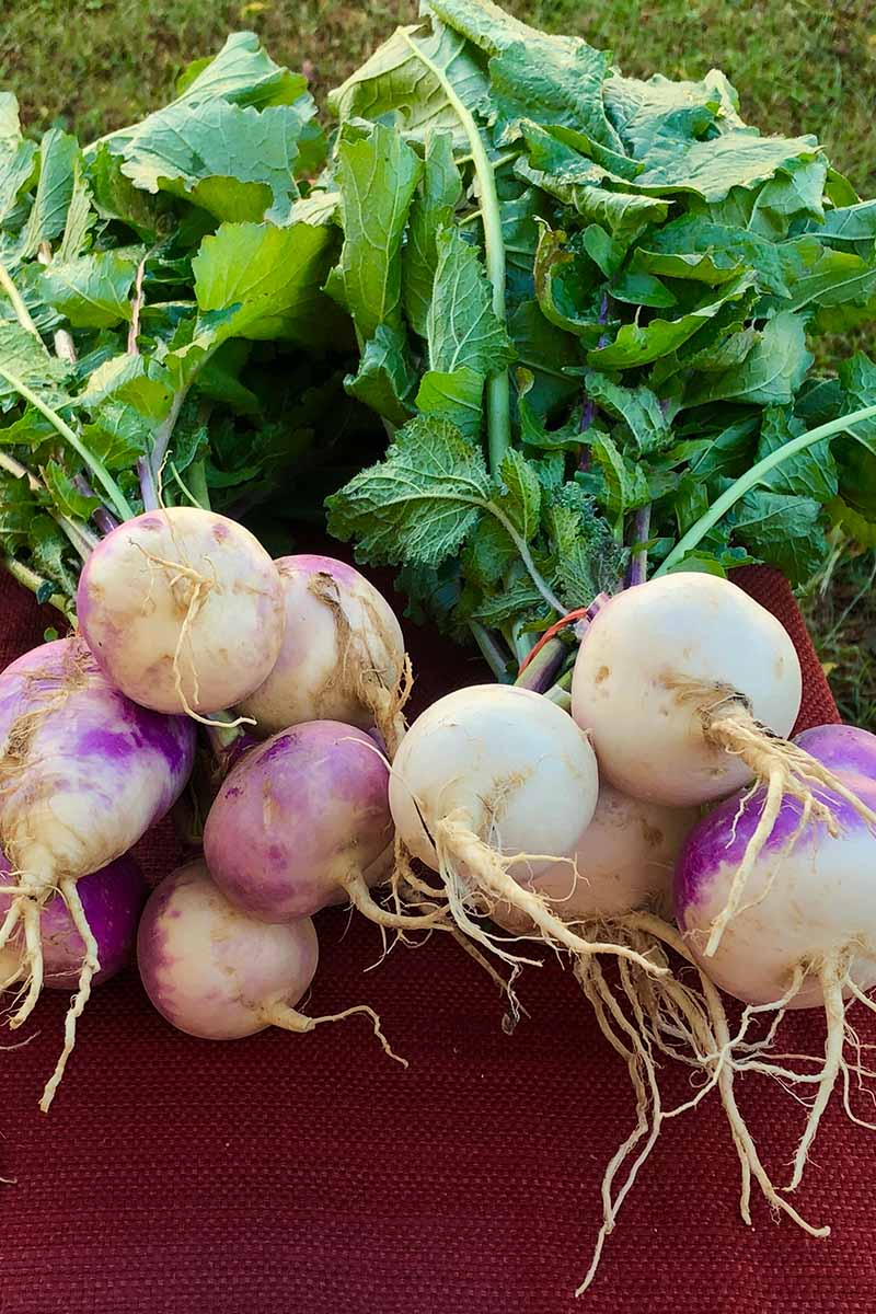 A close up of harvested and cleaned turnips, the foliage still attached, on a dark red surface. In the background is grass, in light sunshine.