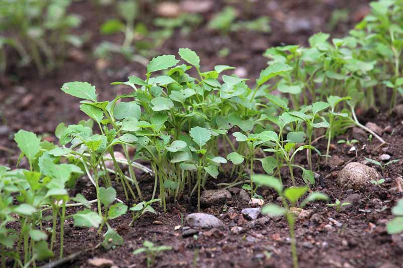 A close up of a row of seedlings growing in rich dark soil. The background fades to soft focus.