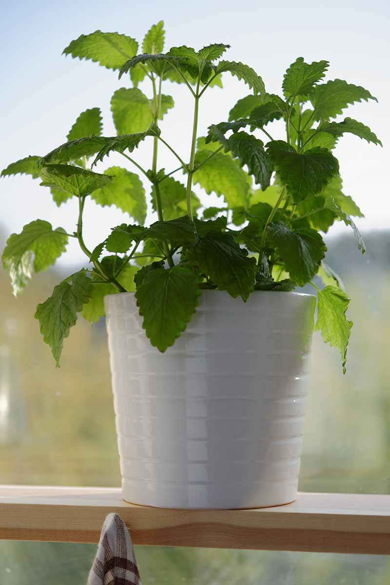 A white flower pot on a wooden shelf in front of a window, containing lemon balm, bright green leaves contrasting with the soft focus background, in bright sunshine.