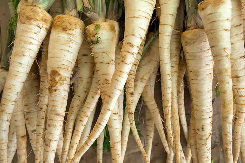 A close up of white carrots, harvested and cleaned, with green tops still attached.