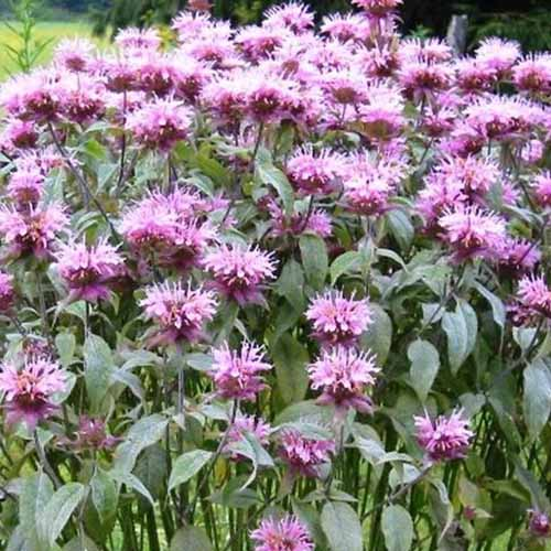 A close up of multiple light purple Monarda fistulosa flowers with light green foliage in light sunshine.
