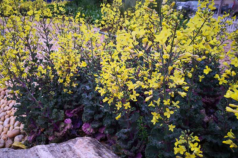 Curly kale bushes with long stems of bright yellow flowers, next to a rock, with some river stones to the left of the frame, and the background is stones and vegetation in soft focus.