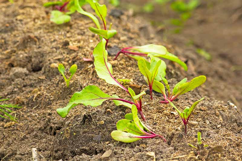 A close up of young beet shoots sprouting out of the soil, the background is soil in soft focus, in light autumn sunshine.