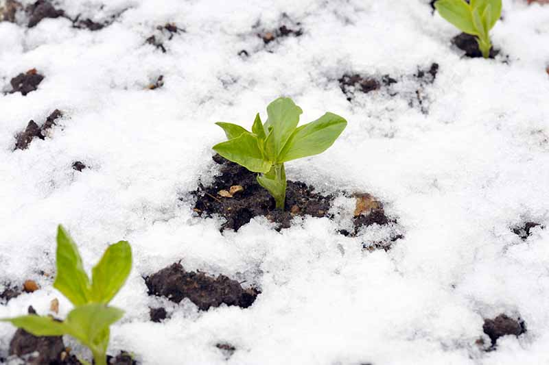 Three seedlings planted outdoors, with snow around them, the dark soil can be seen in patches where the snow is less deep.