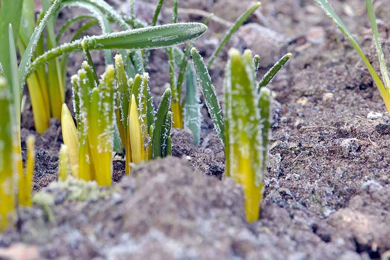 A close up of young shoots with a light covering of frost over them, and the soil around them.