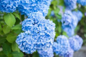 25 of the Best Hydrangea Varieties for Landscaping, Both Large & Small