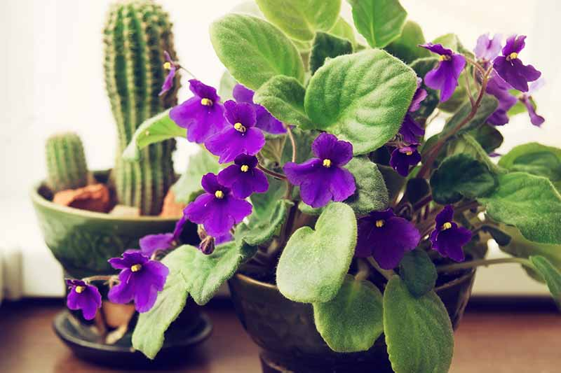 A close up of an African violet plant with purple flowers and succulent green leaves on a wooden table. In the background is a cactus in soft focus.