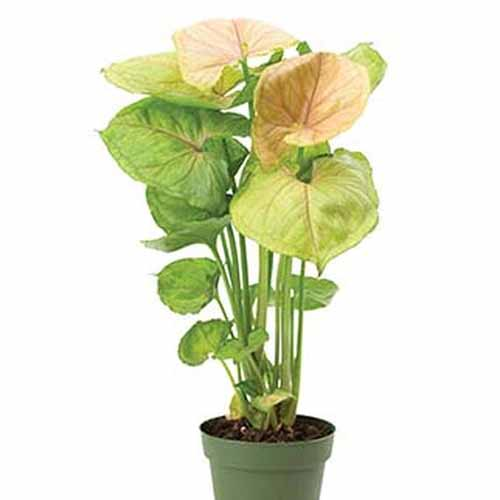 A green plant pot with an arrowhead vine of the 'Mango Allusion' variety, a tall plant with light green and light pink leaves on a white background.