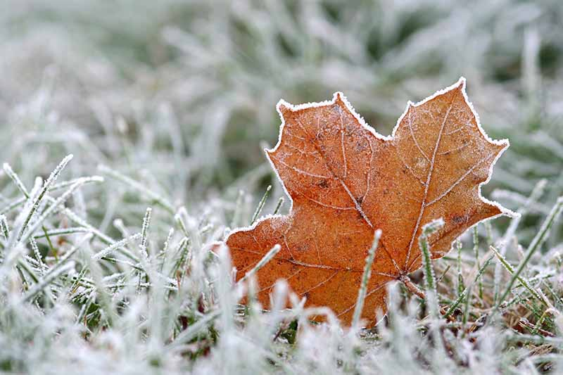 A close up of an autumn leaf dusted with frost on a frosty lawn with a soft focus background.