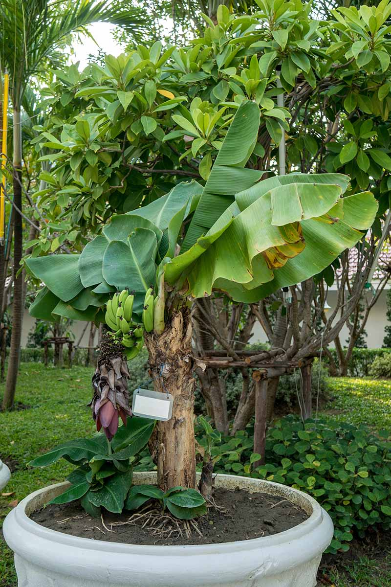 A close up of a small banana tree growing in a large ceramic pot in the garden. A few green fruits are visible amongst the leaves, contrasting with the light brown stem. In the background is a garden scene with tropical trees and a white building.