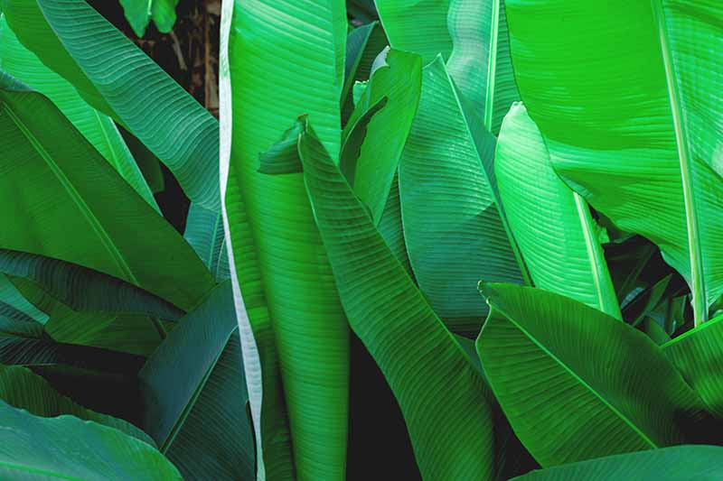 A close up of vivid green banana plant leaves in light sunshine.