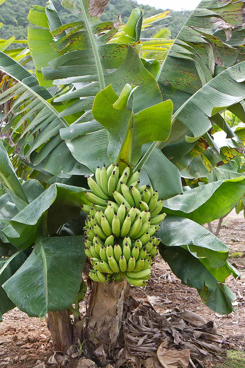 A vertical picture showing a banana plant with a large bunch of green fruit contrasting with the light brown stem, surrounded by green leaves. On the ground are some brown, dead leaves around the base of the tree.