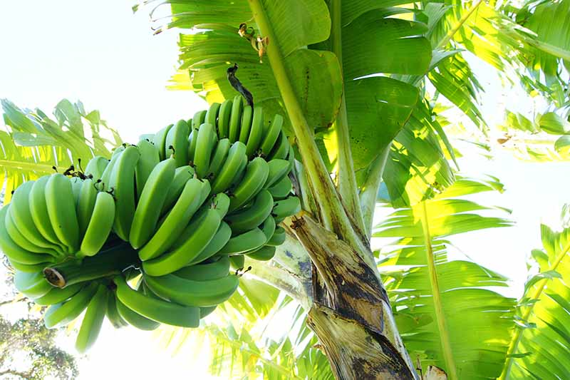 A close up of a large bunch of green bananas still on the tree. The large green leaves filtering the bright sunlight in the background.