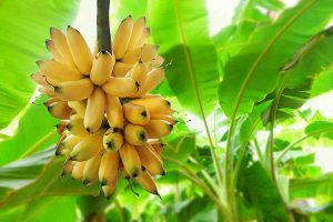 How to Overwinter Banana Plants