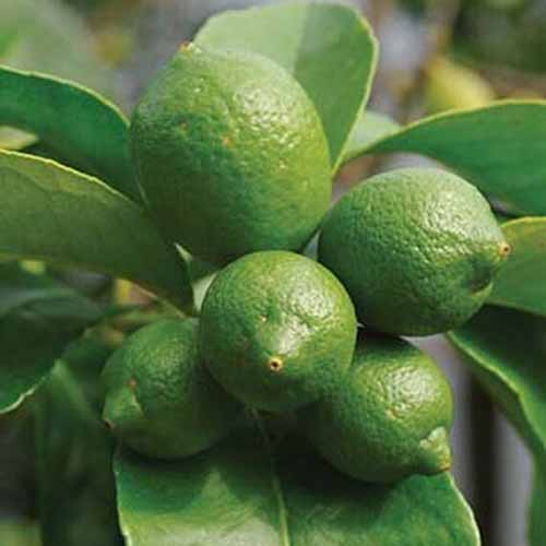 A close up of 'Bearss' variety of lime fruits, with leaves in soft focus in the background.