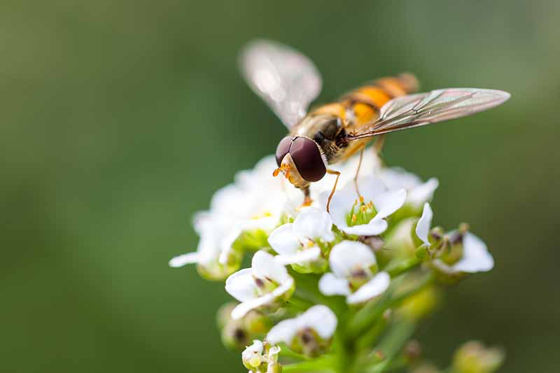A close up of a hoverfly feeding on a tiny white alyssum flower on a green soft focus background.