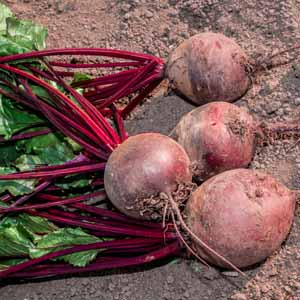 Harvest beetroots and greens from a home veggie patch.