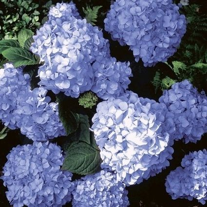A close up square image of the bright blue flowers of 'Big Daddy' Hydrangea growing in the garden pictured in light filtered sunshine.
