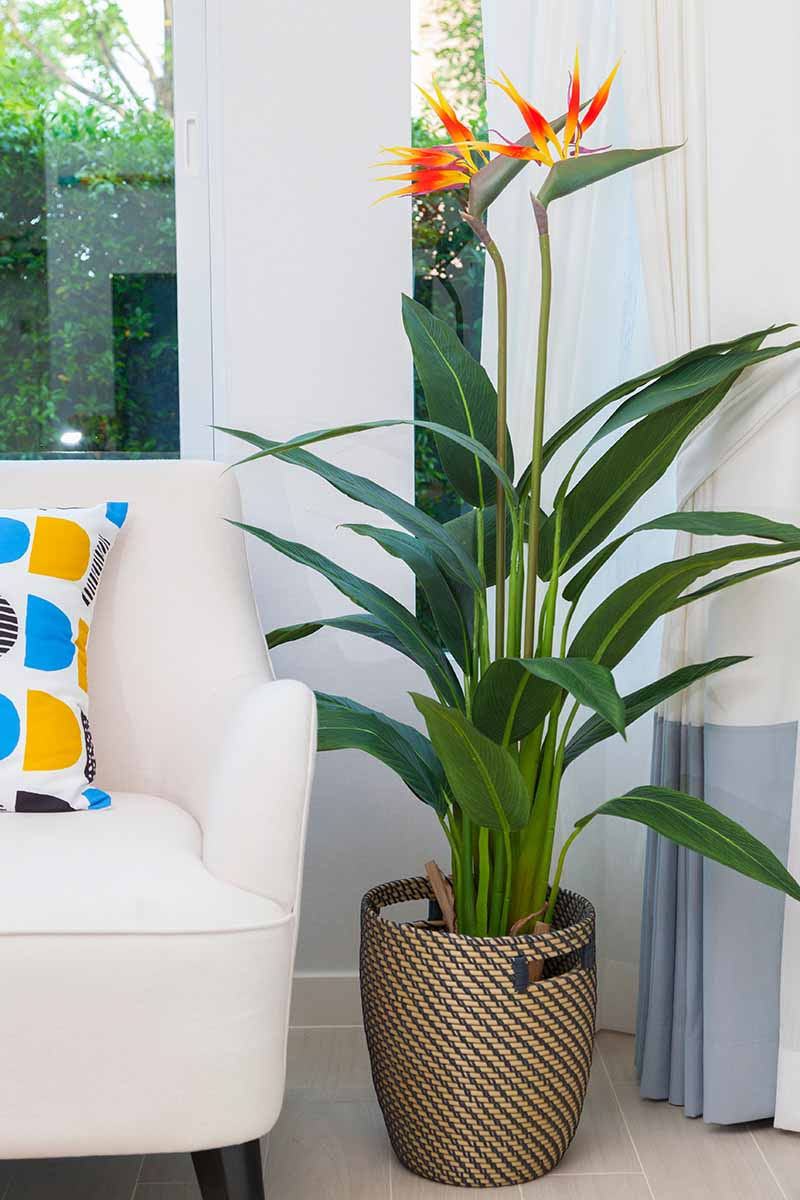 A vertical picture of a flowering bird of paradise plant, with tall green stems and orange and yellow flowers at the top. To the left of the frame is the end of a sofa with a colorful cushion and the background is a white wall with a window.