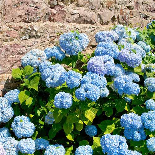 Blue hydrangea in bloom with stone wall in the back ground.