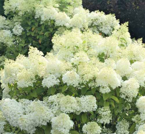 Bobo Hydrangea with white flowers.