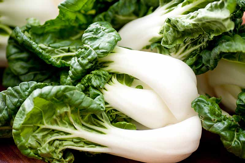 A close up of harvested mature bok choy plants in the kitchen. The creamy white stems contrast with the dark green leaves, on a wooden surface.